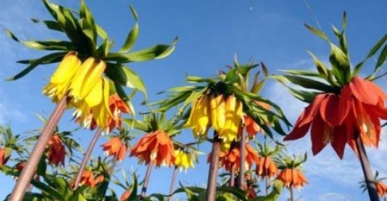 Ters Lale Çiçeğinin İlginç Hikayesi
